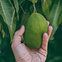 close-up-photo-of-person-holding-unripe-mango-2895712